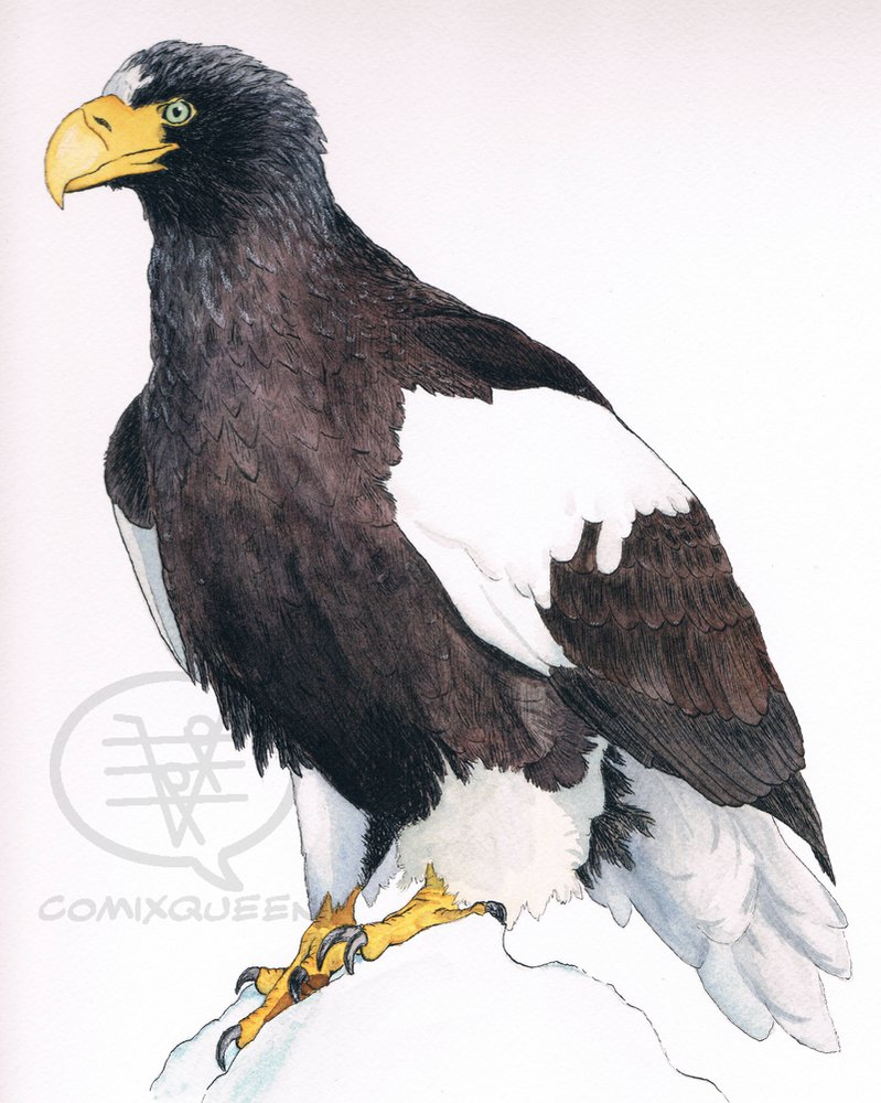 Drawn steller's sea eagle Steller's Eagle Eagle by by