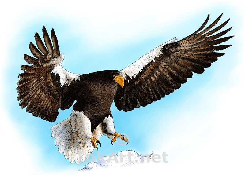 Drawn steller's sea eagle Steller's Line Sea Steller's (Haliaeetus
