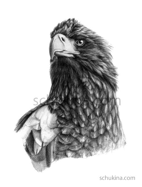 Drawn steller's sea eagle Steller's eagle Eagle Best Sea