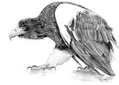 Drawn steller's sea eagle Pencil and http://fav Art drawing