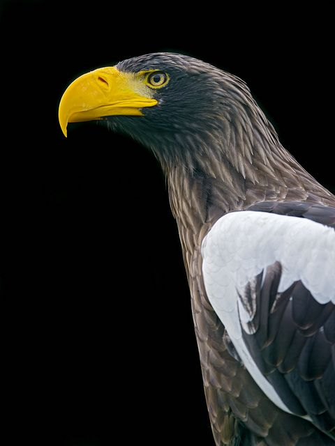 Drawn steller's sea eagle Thepredatorblog: sea sea Jaguar) Stellers