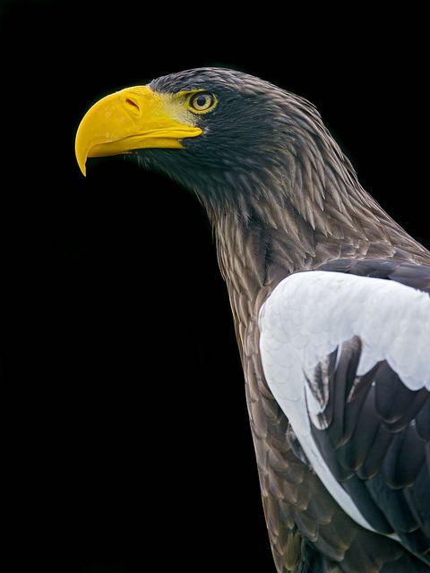 Drawn steller's sea eagle Thepredatorblog: Best Pinterest Stellers eagle