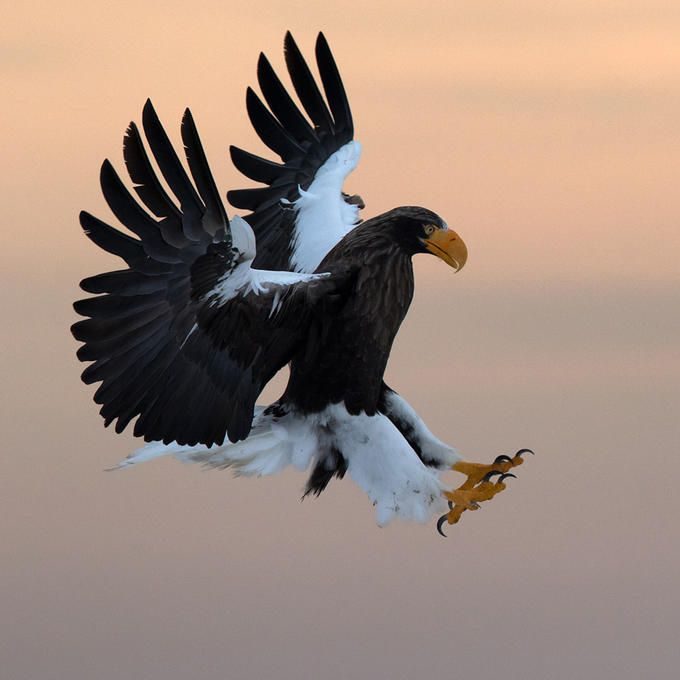 Drawn steller's sea eagle Steller's 25+ eagle Alain on