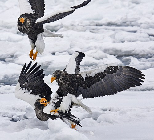 Drawn steller's sea eagle awesome Eagle Steller's Japan Birding Sea