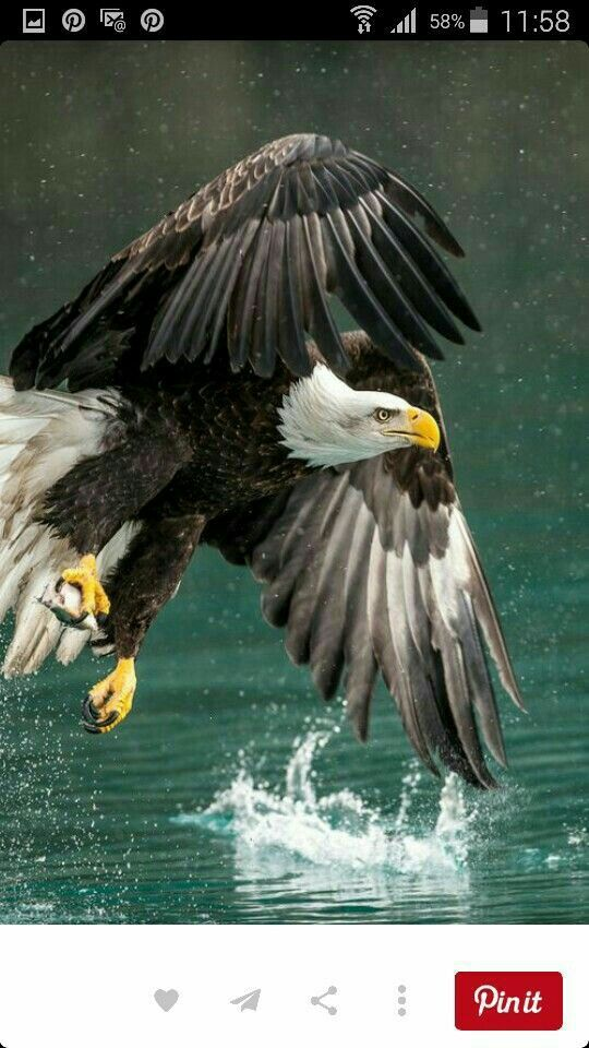 Drawn steller's sea eagle awesome 156  Bald best on