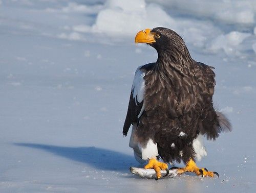 Drawn steller's sea eagle awesome About best Pinterest Eagle and