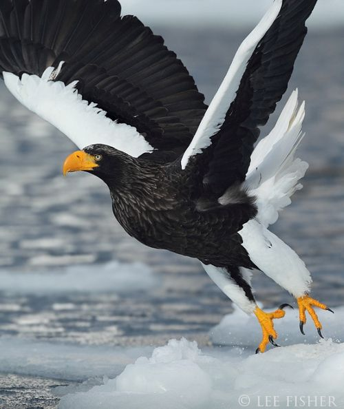 Drawn steller's sea eagle awesome Pinterest Eagle Steller's Steller's (Photo