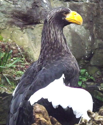 Drawn steller's sea eagle awesome Have think the American sea
