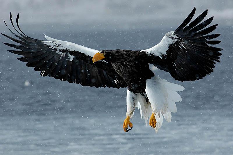 Drawn steller's sea eagle bird Explore Pinterest and Águia Bald