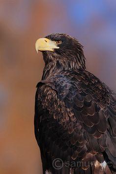 Drawn steller's sea eagle bird Find Eagle more eagle Steller's