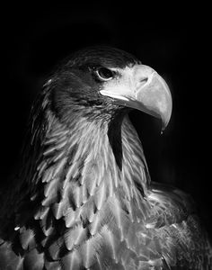 Drawn steller's sea eagle black and white Art Bird On Eagle on
