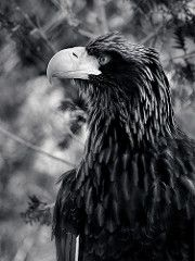 Drawn steller's sea eagle black and white Eagles Eagle Eagle Steller's Steller's
