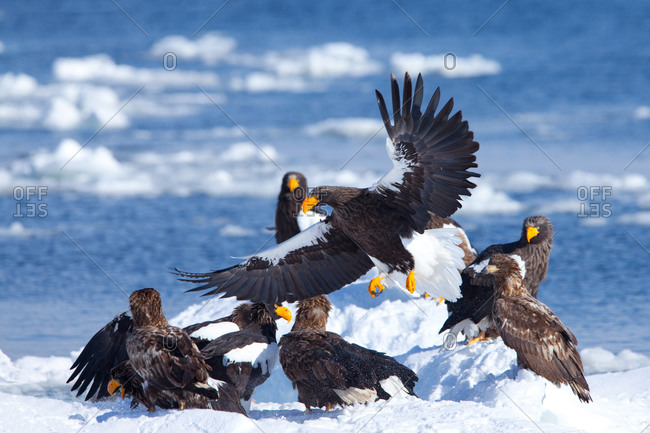 Drawn steller's sea eagle black and white Eagle fighting stellers steller's Hokkaido