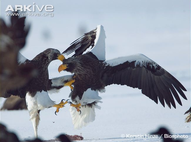 Drawn steller's sea eagle step by step Image Sea Eagle Eagle information
