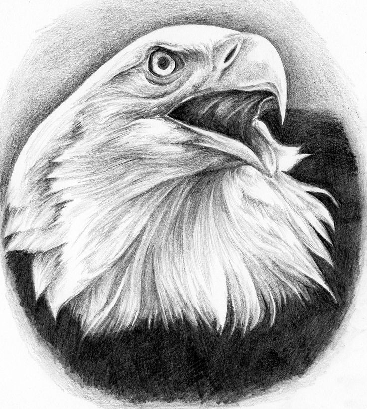Drawn steller's sea eagle charcoal drawing Eagle AGUILAS bald Eagle Flyquest