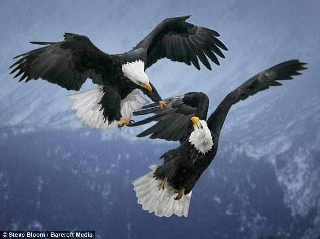 Drawn steller's sea eagle charcoal drawing Find on EAGLE and Pin