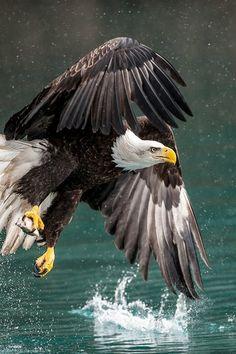 Drawn steller's sea eagle charcoal drawing American Bald North eagle Bald