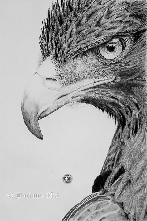 Drawn steller's sea eagle charcoal drawing Find Drawings and Pin this
