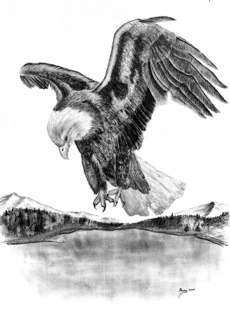Drawn steller's sea eagle charcoal drawing Drawings Native Living Drawing bald