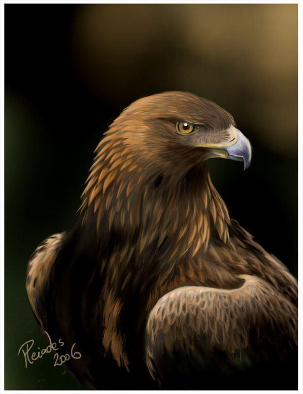 Drawn steller's sea eagle charcoal drawing Golden Eagle by portrait Eagle