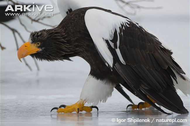 Drawn steller's sea eagle cute Enough to • CruinndracFarms Wyrm