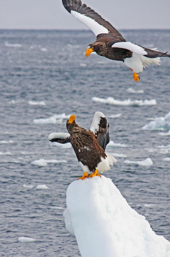 Drawn steller's sea eagle cute Other Sea on best images