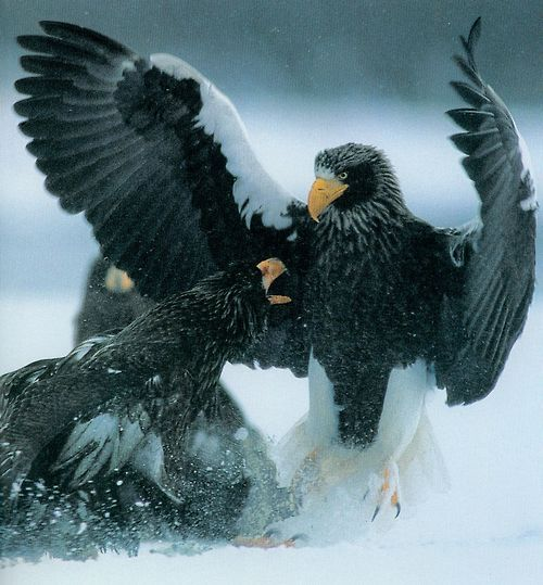 Drawn steller's sea eagle cute Images about on Sea eagles