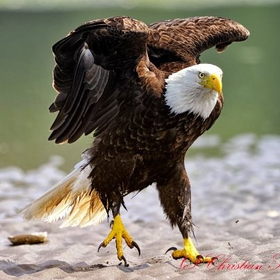 Drawn steller's sea eagle eagle eye 345 Find Majestic this images