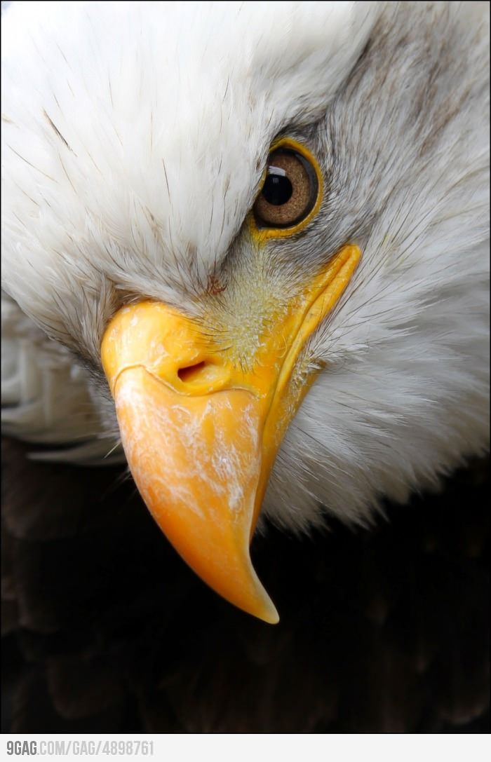 Drawn steller's sea eagle eagle eye Eagle on Eye Eagles best