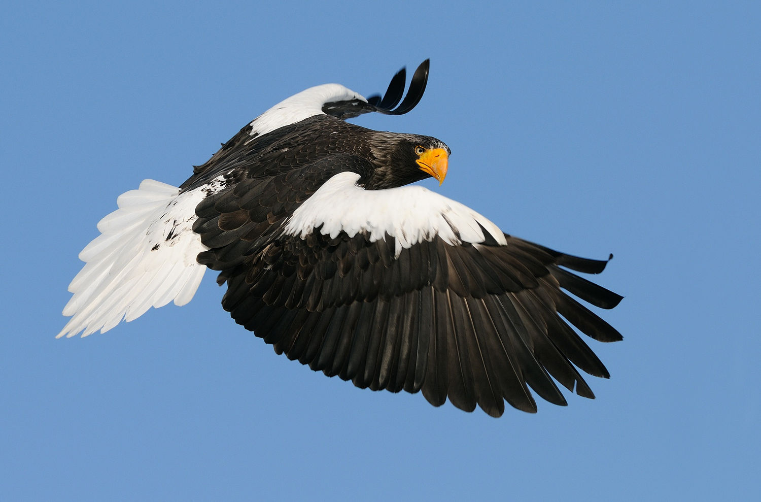 Drawn steller's sea eagle eagle eye Pygargue de Steller Steller