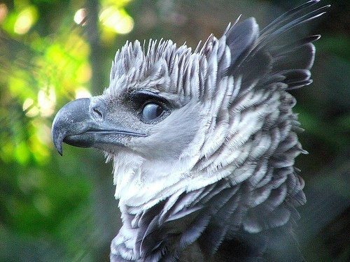 Drawn steller's sea eagle eagle eye Pinterest Harpy Accipitridae Eagle Raptors