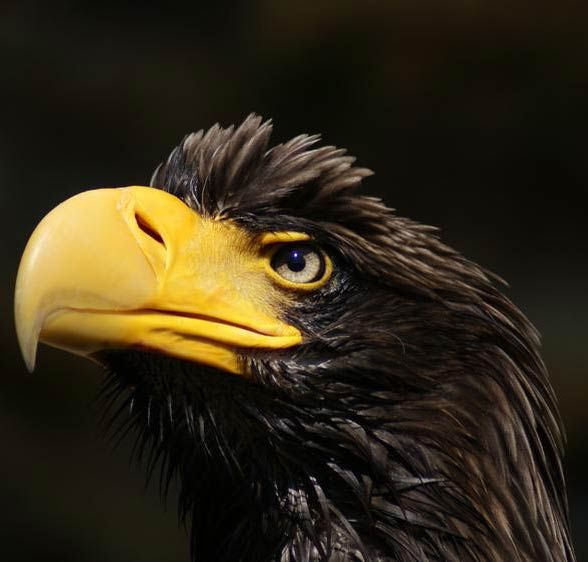 Drawn steller's sea eagle eagle eye Prey Steller's best sea on