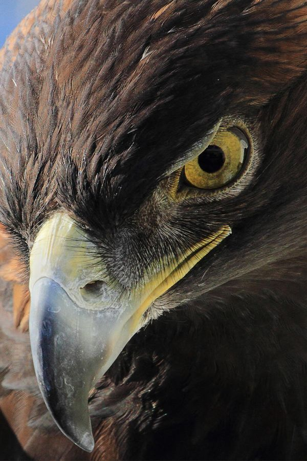 Drawn steller's sea eagle eagle eye Images Golden 985 Eagle nature