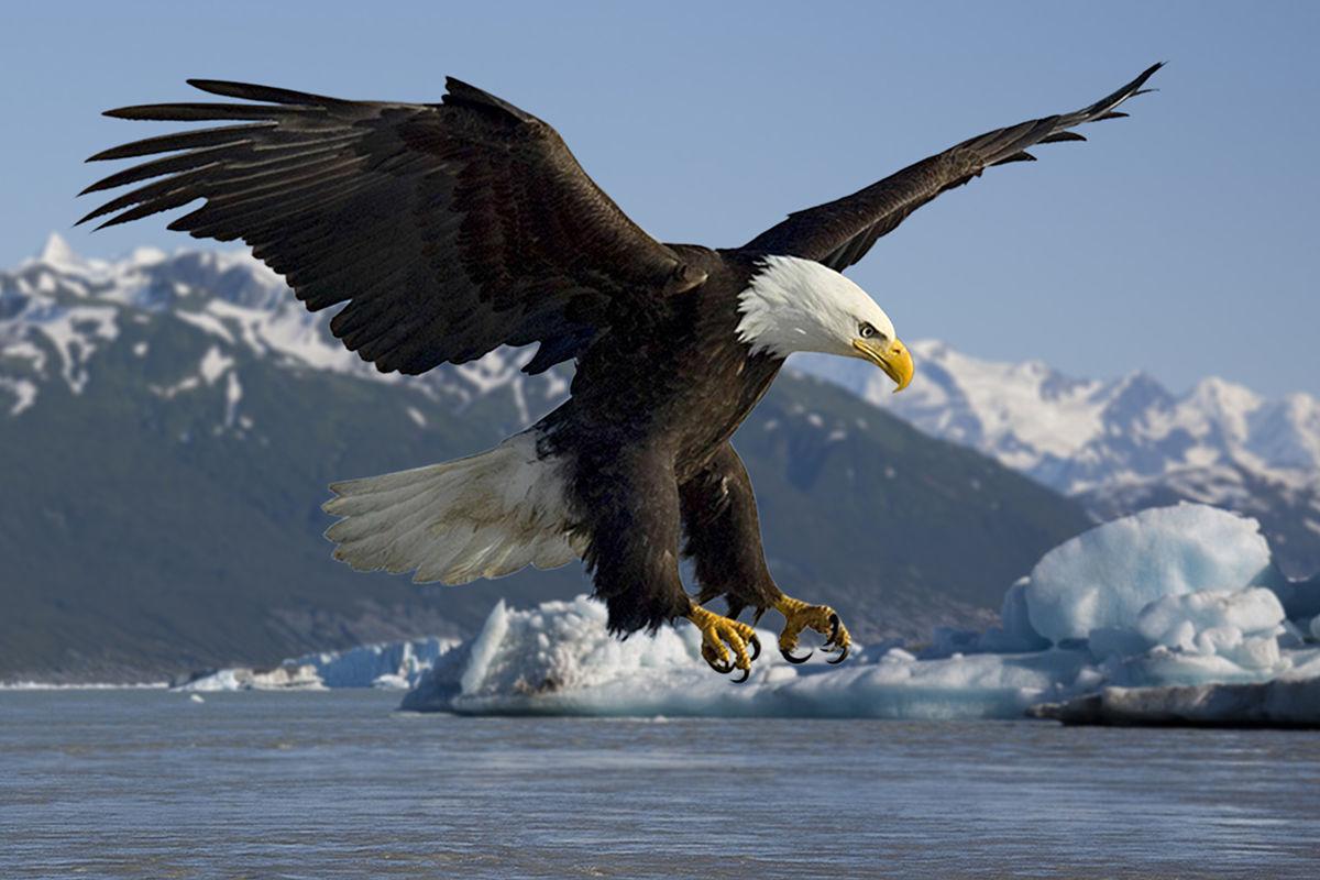 Drawn reptile sea eagle Wikipedia eagle  Bald