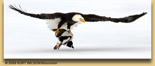 Drawn reptile sea eagle Photo ® & Wilson bald