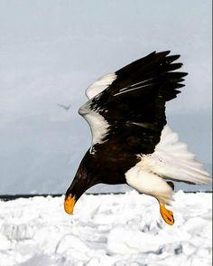 Drawn steller's sea eagle easy draw Drawing Eagle a Color sea