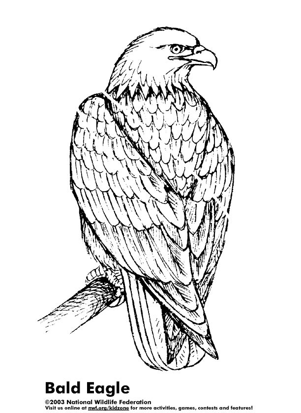 Drawn steller's sea eagle easy draw Coloring below Pages The Eagle