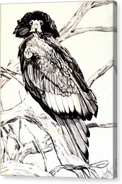 Drawn steller's sea eagle easy draw Print Canvas Steller's Eagle Drawing