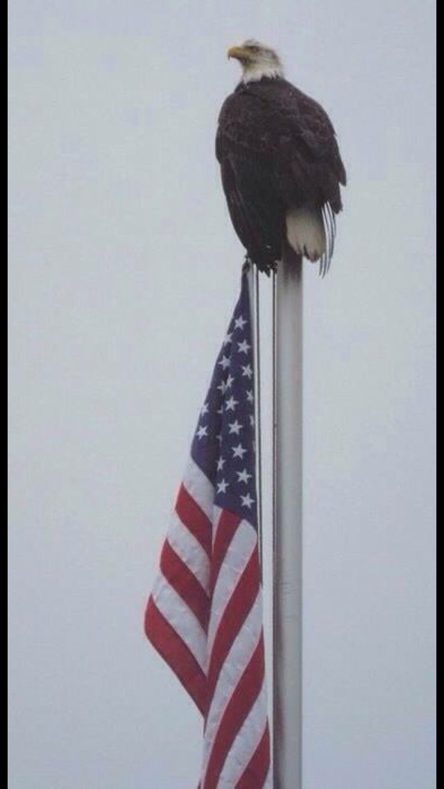 Drawn steller's sea eagle flag america Eagle this images Find best