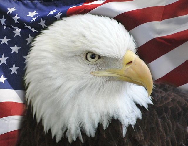 Drawn steller's sea eagle flag america Pinterest Bald American Eagle images