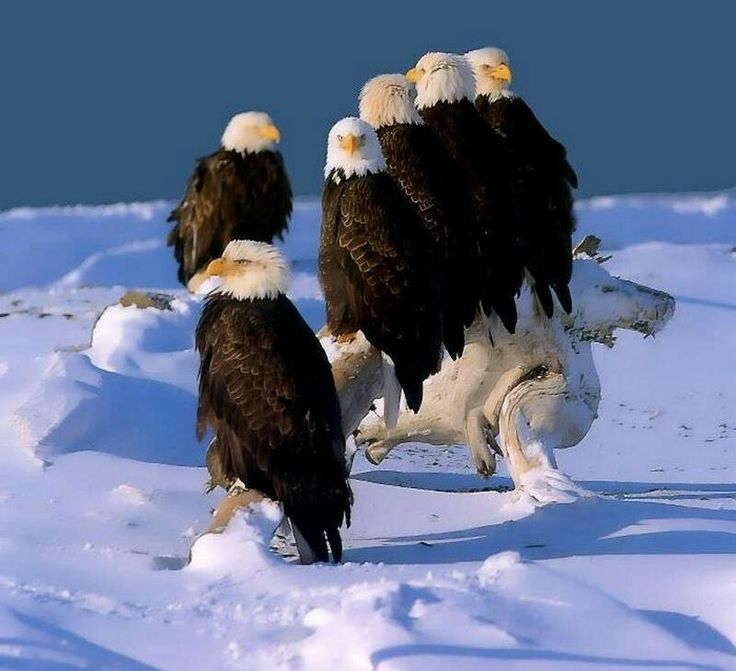 Drawn steller's sea eagle flag america And plain Bald Bald American