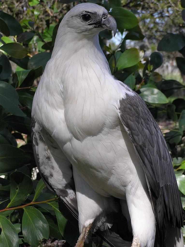 Drawn reptile sea eagle Sea bellied  White eagle