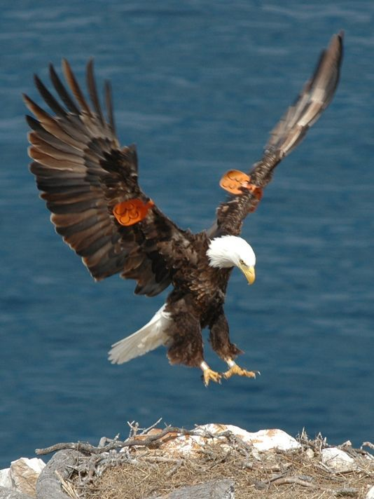 Drawn steller's sea eagle detailed Channel Islands bald eagle lays