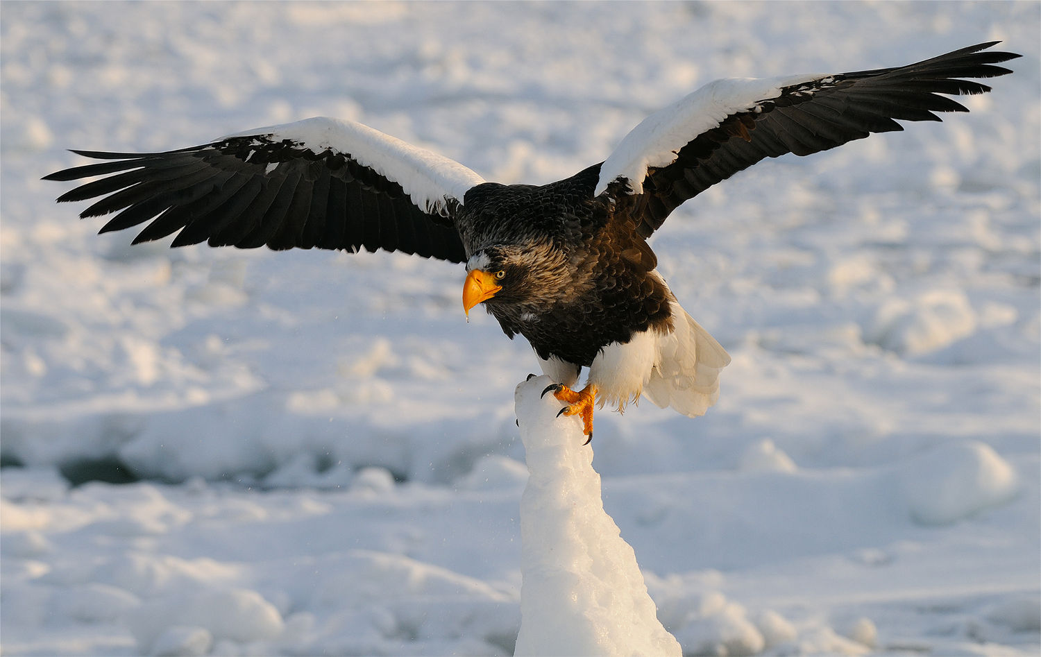 Drawn steller's sea eagle patriotism Pescatrice Gigante Pigargo Sea Steller's
