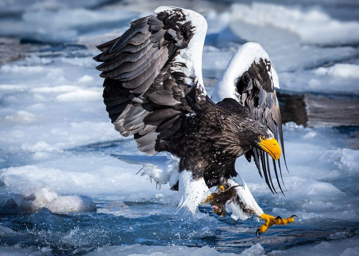 Drawn steller's sea eagle patriotism Enn Eagles Pinterest eagle sea