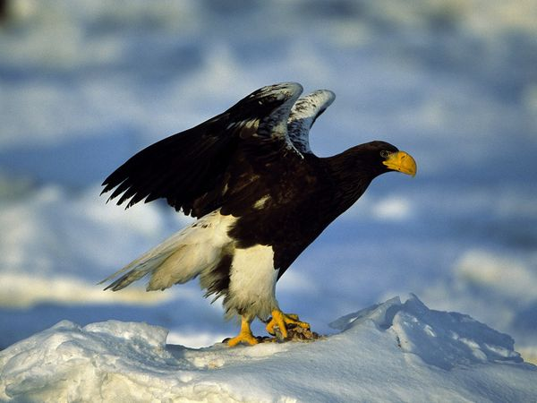 Drawn steller's sea eagle patriotism  talons snow predator sea