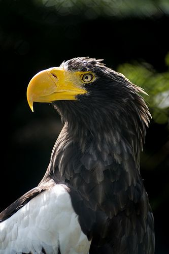 Drawn steller's sea eagle patriotism Ideas Eagle best eagle Sea