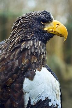 Drawn steller's sea eagle patriotism Lives northea… large an is