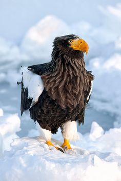 Drawn steller's sea eagle patriotism Sea OF BIRDS Eagle by