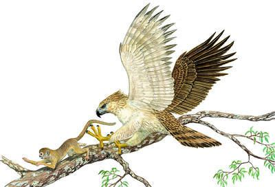Drawn steller's sea eagle eagle eye Philippine eagle Wild Wild